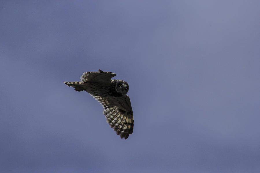 Owl Photograph - Short Eared Owl In Flight by Brad Scott