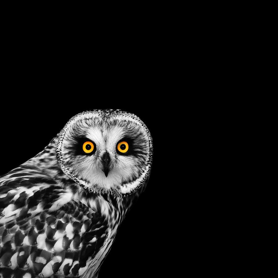 Short Eared Owl Photograph - Short-Eared Owl by Mark Rogan
