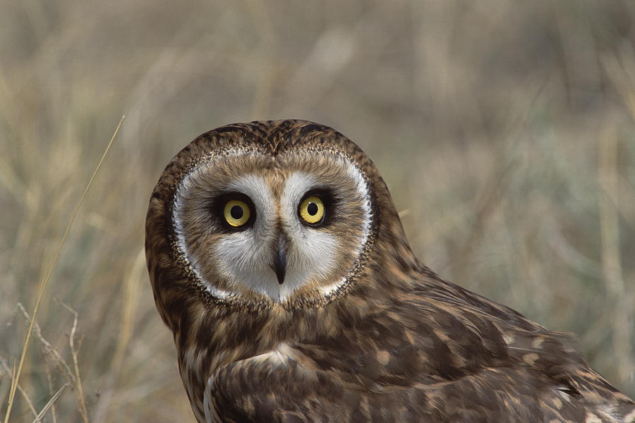 Short-eared Owl Portrait North America Photograph by Konrad Wothe