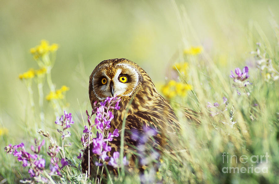 Short-eared Owl Photograph - Short-eared Owl by Thomas and Pat Leeson