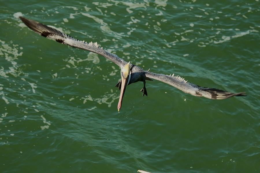 Pelican Photograph - Short Final by Frederic Vigne