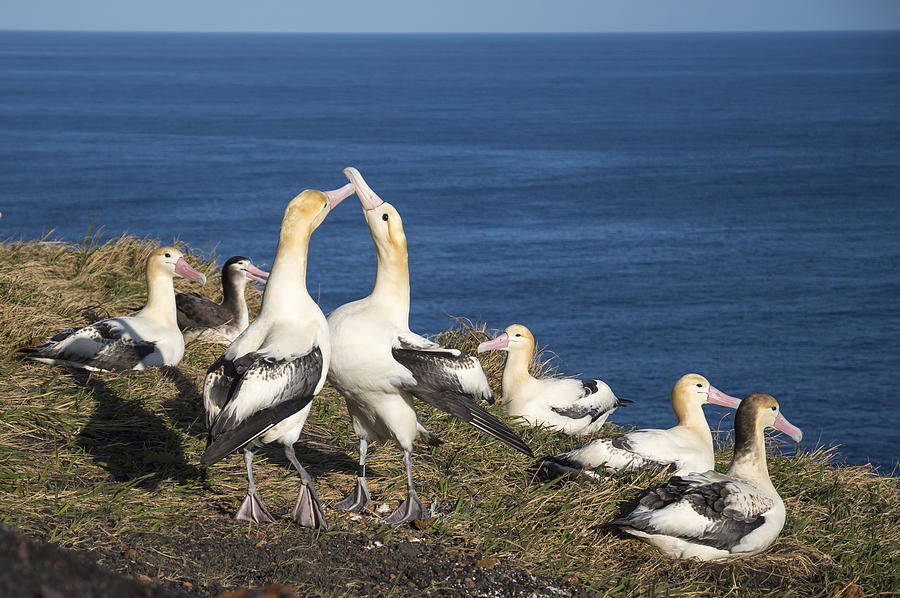 Short-tailed Albatrosses Courting Photograph by Tui De Roy