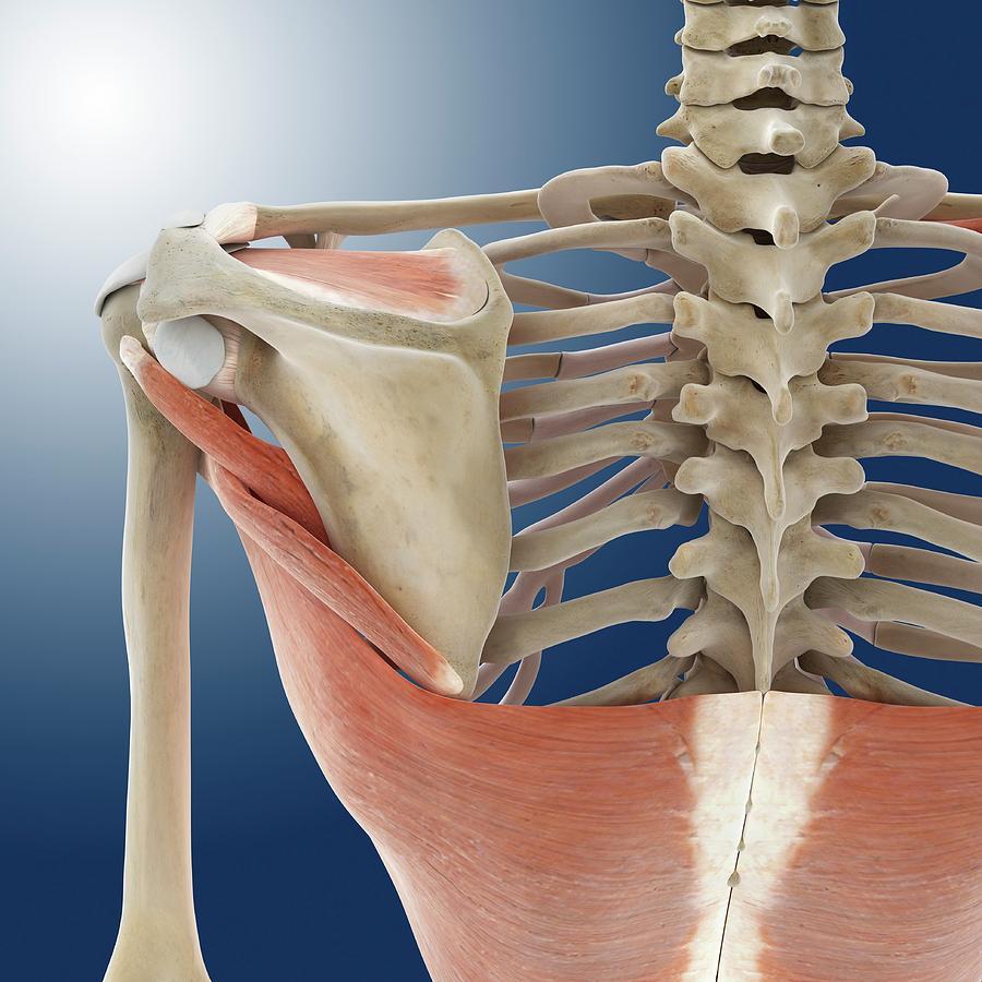 Shoulder And Back Anatomy Photograph By Springer Medizin
