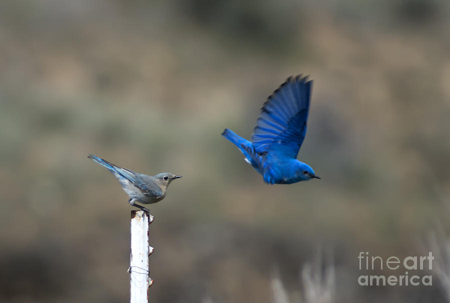 Mountain Bluebird Photograph - Showing Off by Mike  Dawson
