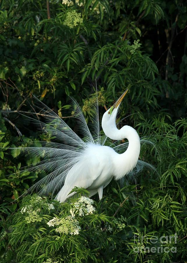 Great White Egret Photograph - Showy Great White Egret by Sabrina L Ryan
