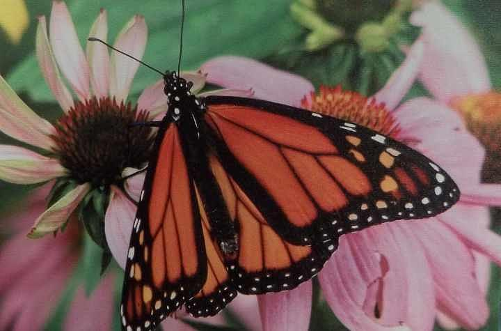 Butterfly Photograph - Shutterbug by Patty Brown