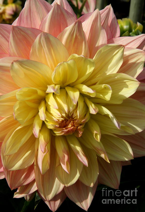 Dahlia Photograph - Shy Dahlia Beauty by Christiane Schulze Art And Photography