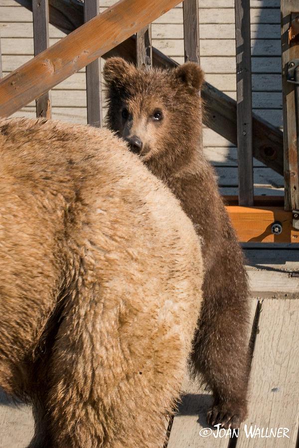 Alaska Photograph - Shy Grizzly Spring Cub by Joan Wallner