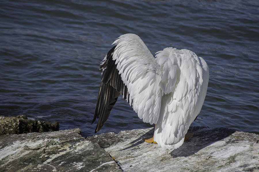Avian Photograph - Shy Pelican by Diego Re