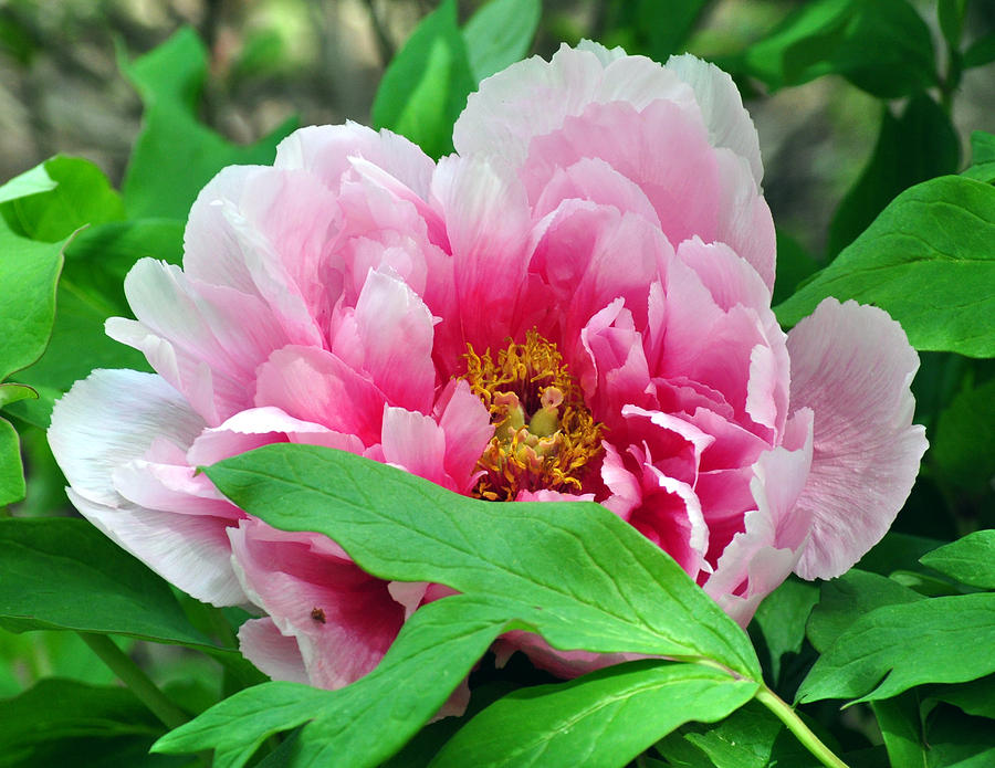 Plant Photograph - Shy Peony by Gail Butler
