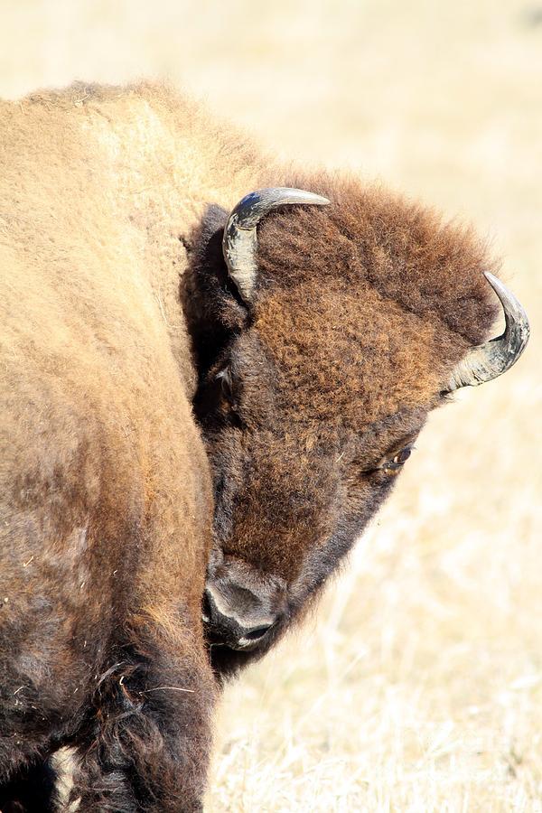Bison Photograph - Shy by Rick Rauzi
