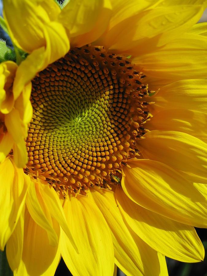 Sunflower Photograph - Shy Sunflower by Laura Corebello