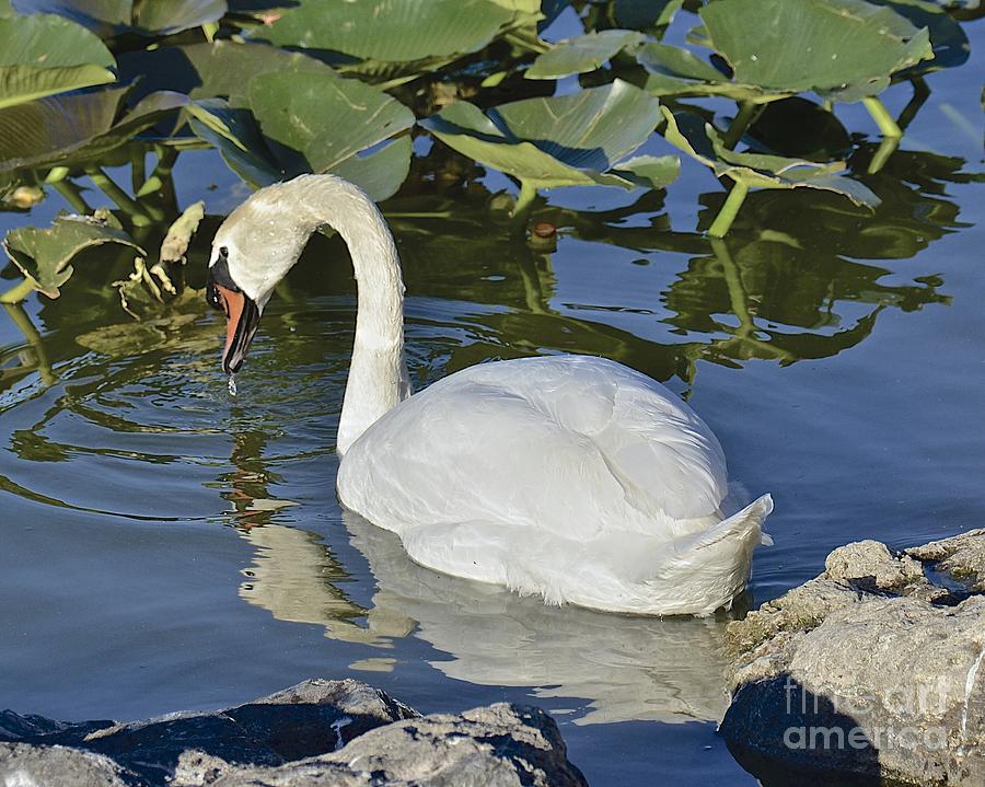 Swan Photograph - Shy Swan by Carol  Bradley