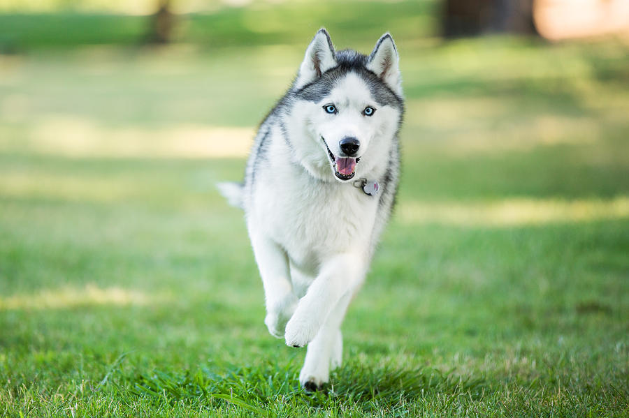 Siberian Husky Dog Running On Grass Outdoors Photograph by Purple Collar Pet Photography