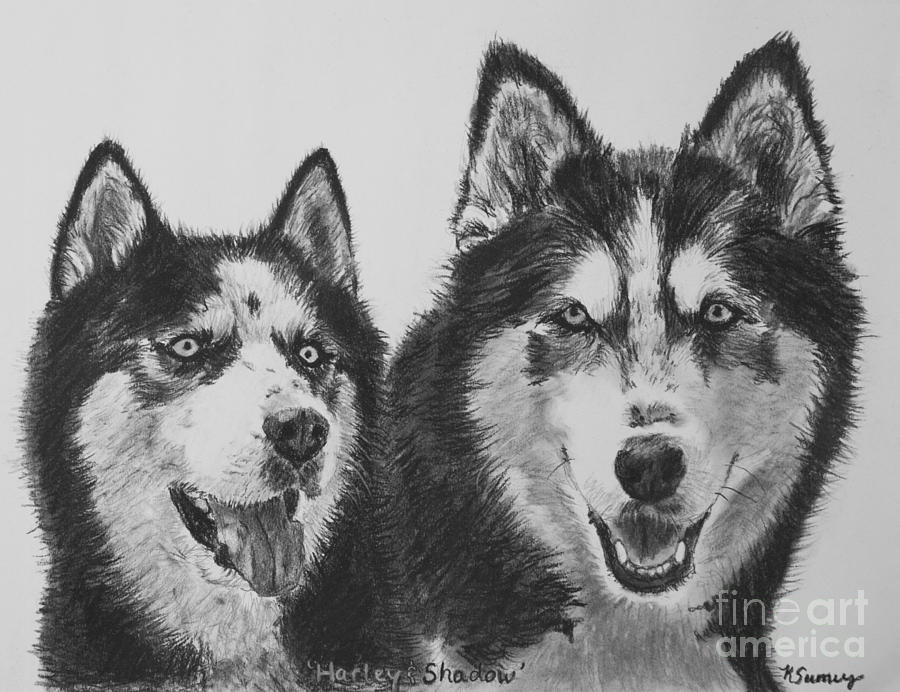 siberian husky dogs sketched in charcoal drawing by kate sumners