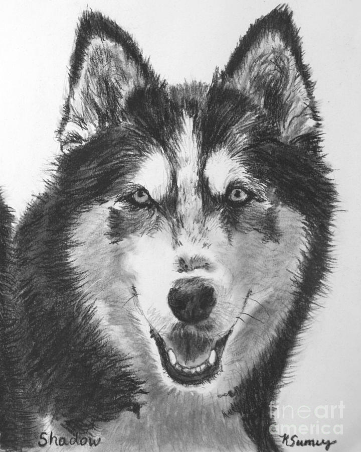 siberian husky drawing drawing by kate sumners