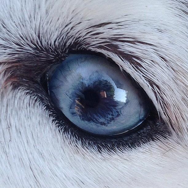 Siberian Husky Eye #eye #blue Photograph by Lisa Thomas