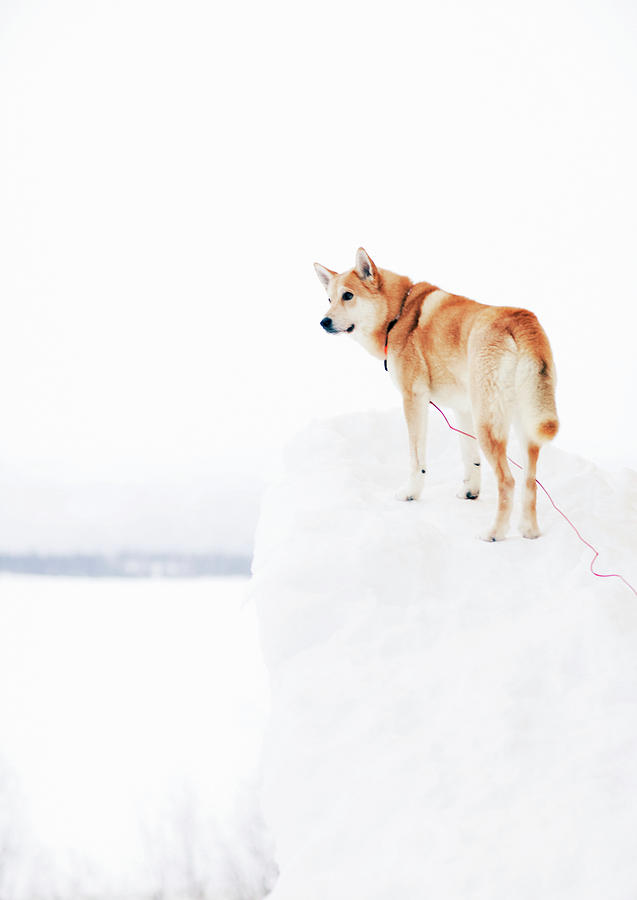 Siberian Husky Looking Away Photograph by Johner Images