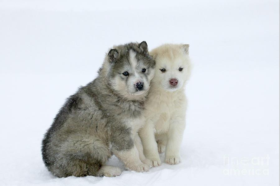 Siberian Husky Photograph - Siberian Husky Puppies by M. Watson