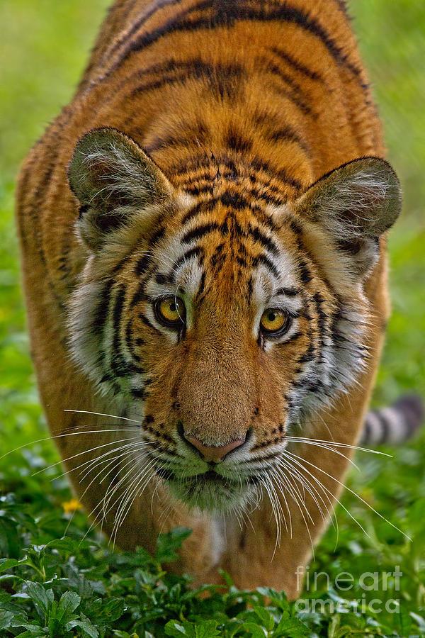 Amur Photograph - Siberian Stalker by Ashley Vincent