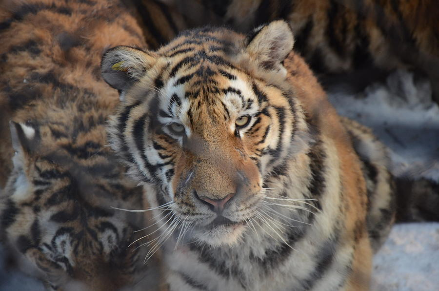 Siberian Tiger Photograph - Siberian Tiger by Brett Geyer