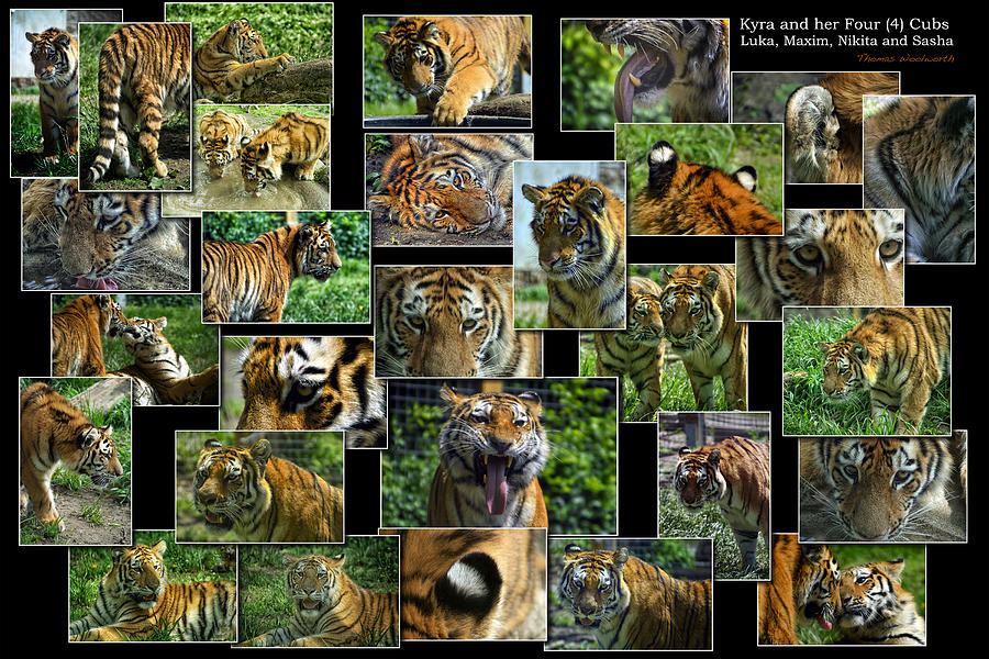 Siberian Tiger Collage Photograph By Thomas Woolworth