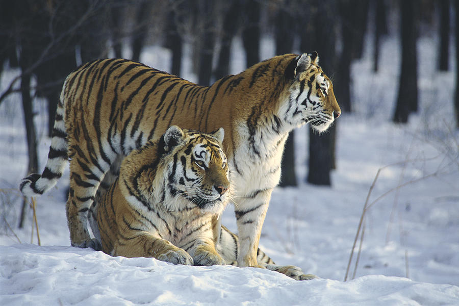 siberian tiger wallpaper for android