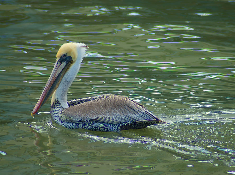 Bird Photograph - Sidelong Look From A Pelican by Sarah Crites