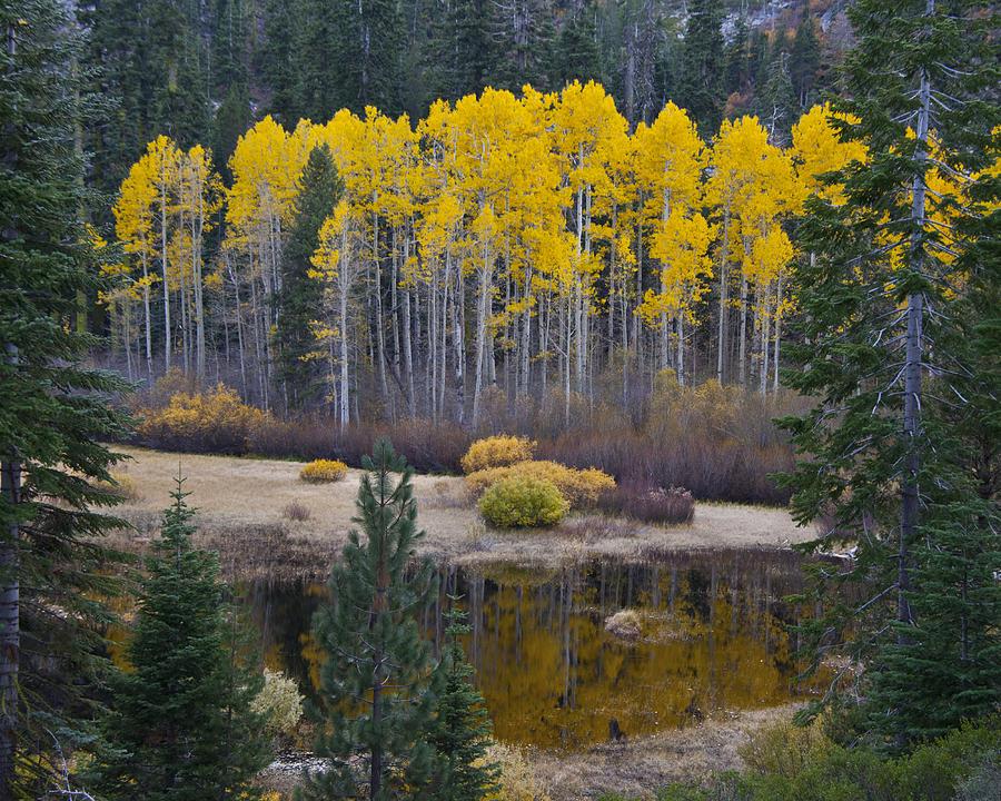 Aspen Photograph - Sierra Aspens by Neal Martin