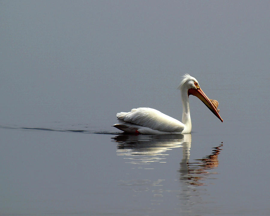 Pelican Photograph - Silent And Reflective by Thomas Young