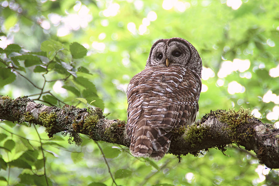 Owls Photograph - Silent Watcher of the Woods by Peggy Collins