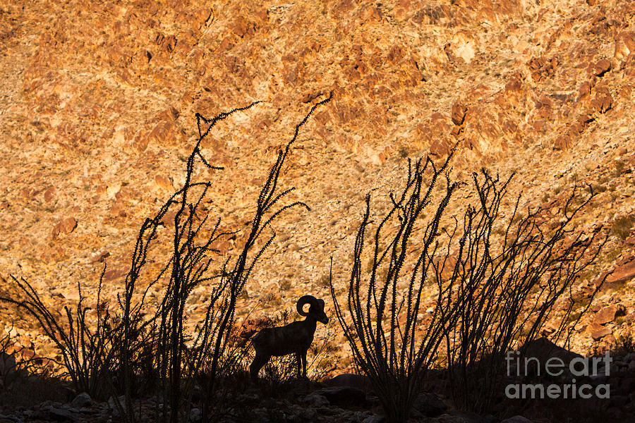 Silhouette Bighorn Sheep by John Wadleigh