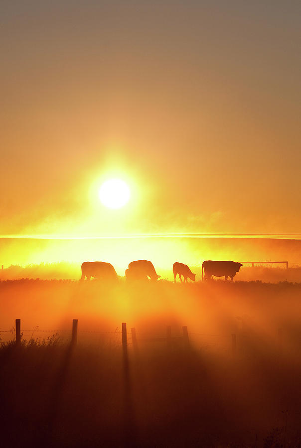 Silhouette Of Cattle Walking Across The Photograph by Imaginegolf