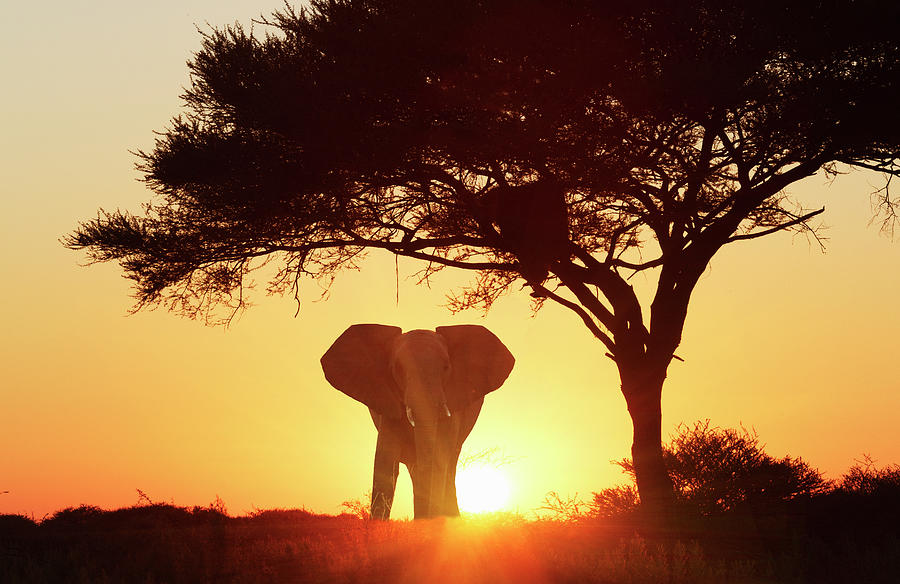 Silhouetted African Elephant At Sunset Photograph by Lost Horizon Images