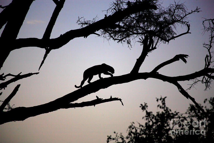 Africa Photograph - Silhouetted Leopard by Deborah Benbrook