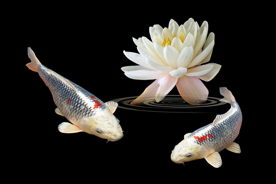 Silver and red koi with water lily photograph by gill for Silver koi fish