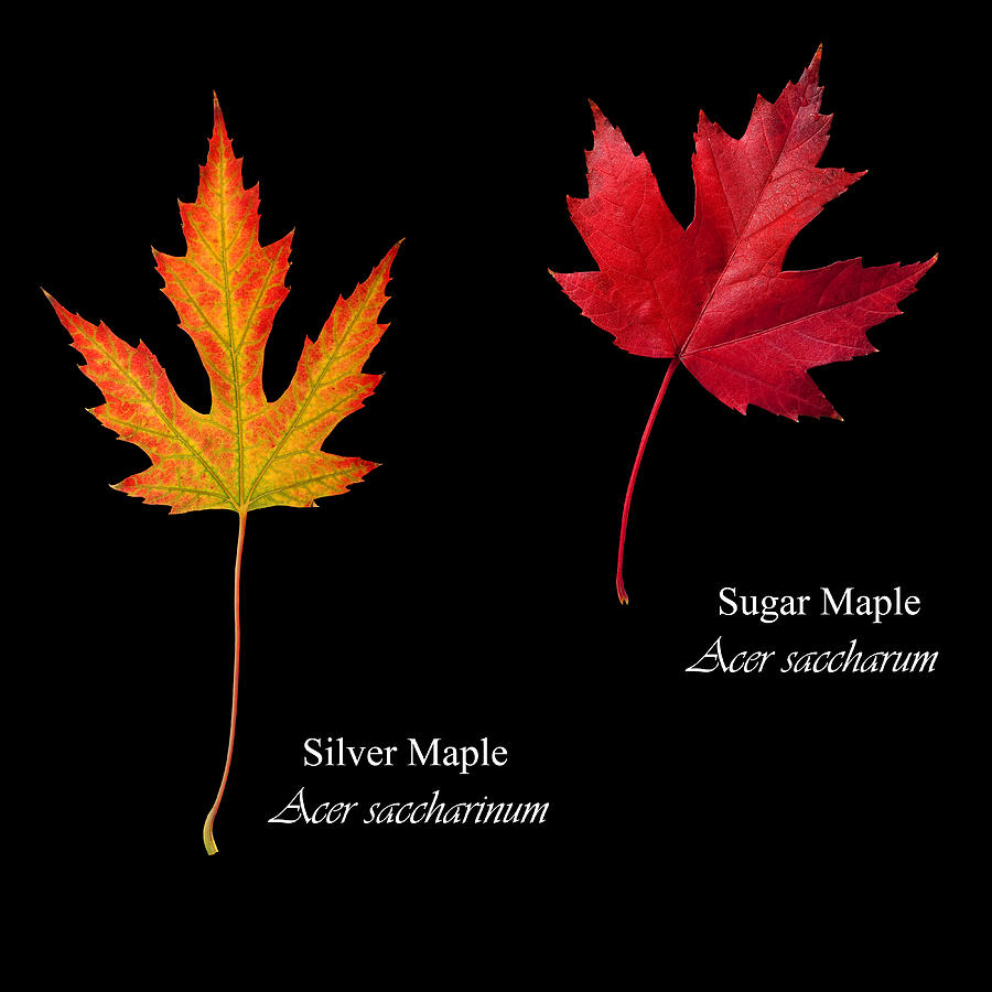 Width mature sugar maple