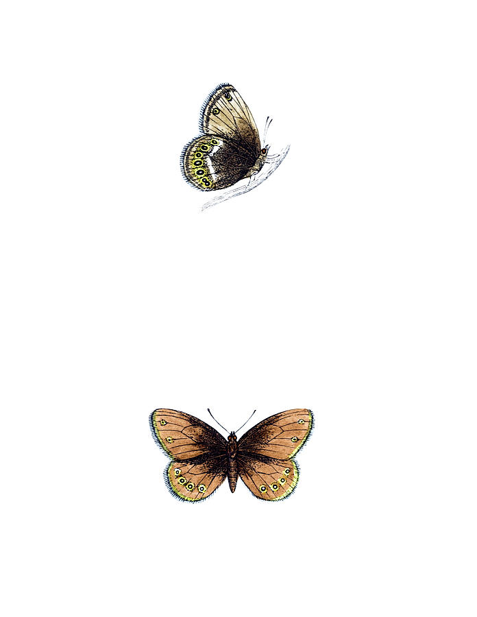 Silver Bordered Ringlet - Hand Coloured Photograph by Andrew howe