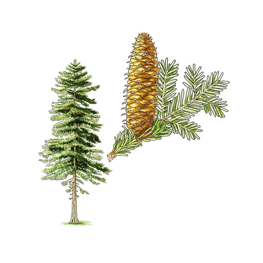 Silver Fir Abies Alba Tree Artwork Photograph By Science Photo