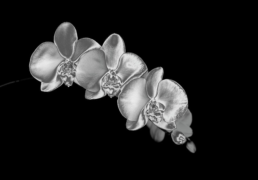 Silver Phaelenopsis Orchid On A Black Photograph by Mike Hill