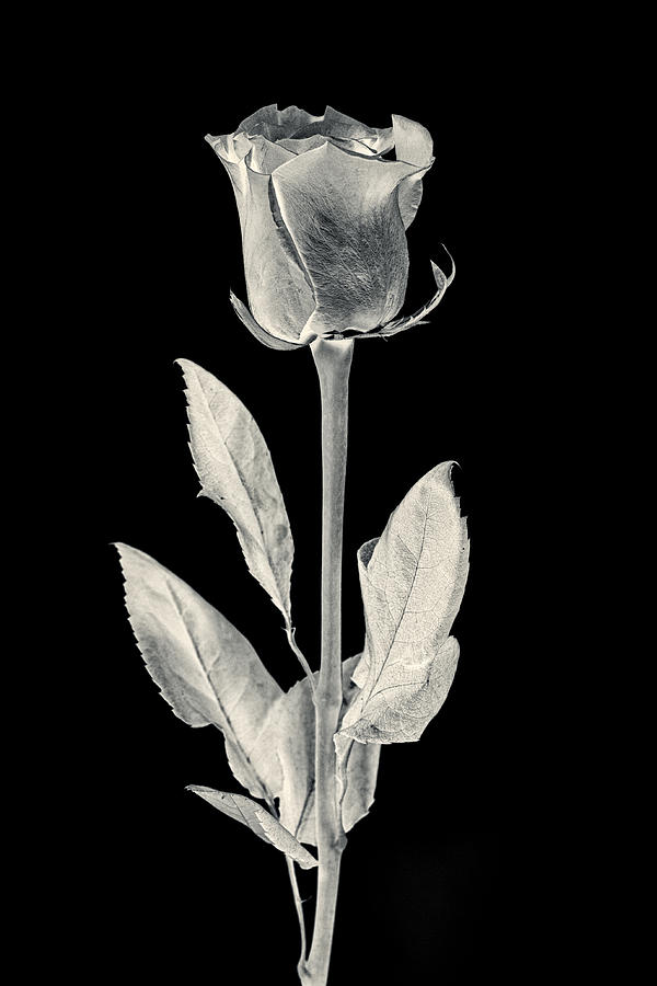 Abstract Photograph - Silver Rose by Adam Romanowicz