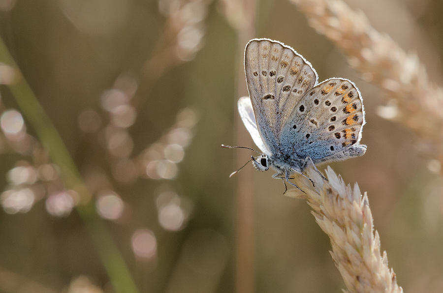 Silver Studded Blue Butterfly Photograph by A World Of Natural Diversity By Paul Shaw