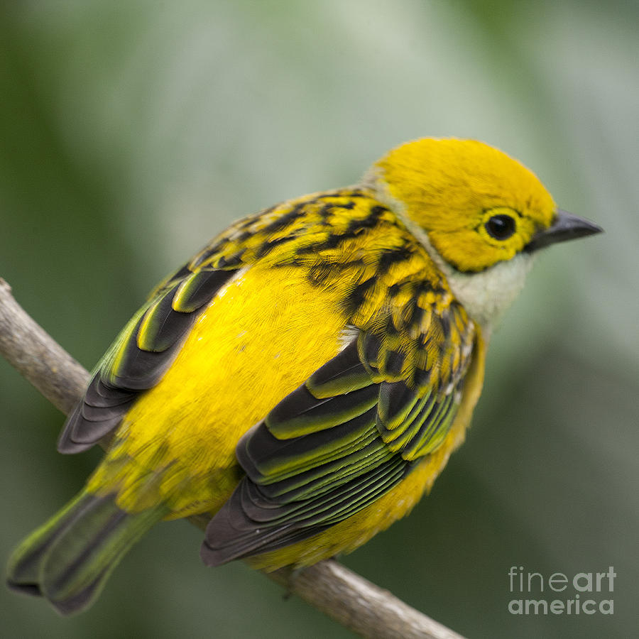 Tanager Photograph - Silver-throated Tanager - Tangara Icterocephala by Heiko Koehrer-Wagner