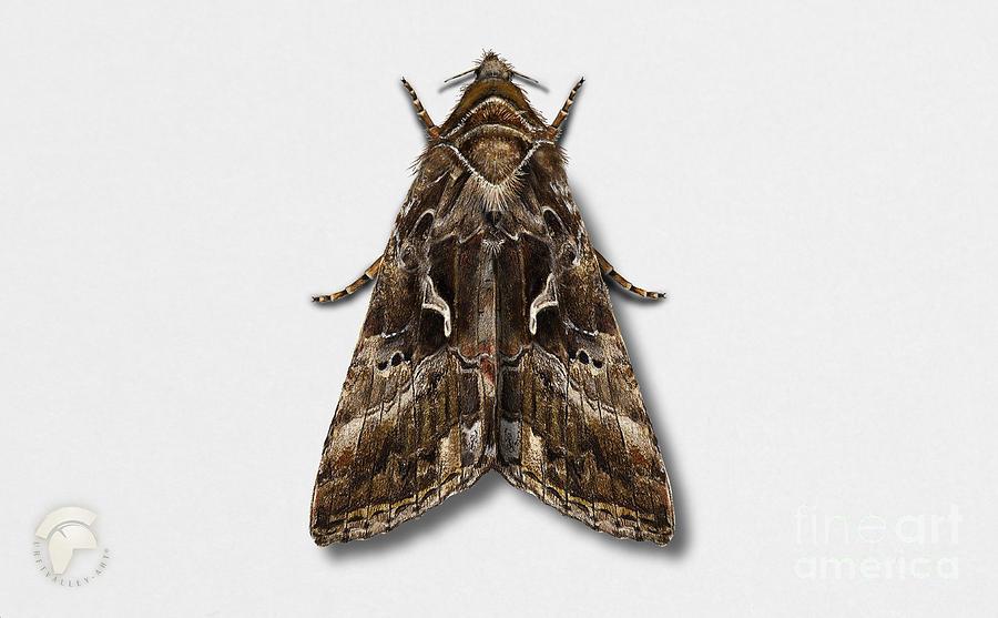 Silver Y Painting - Silver Y - Gamma Moth - Autographa gamma - Noctuelle gamma - Le gamma - La plusia - Gammafly  by Urft Valley Art \ Matt J G  Maassen-Pohlen
