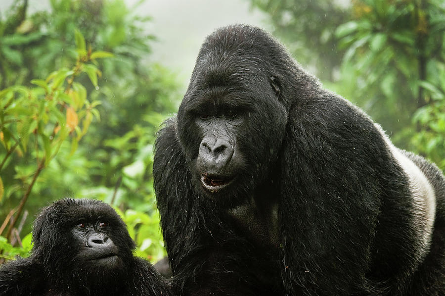 Silverback Agashya And Baby In Group 13 Photograph by Doug Steakley