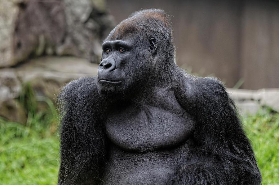 Silverback Gorilla Photograph - Silverback Gorilla by Scott Hill