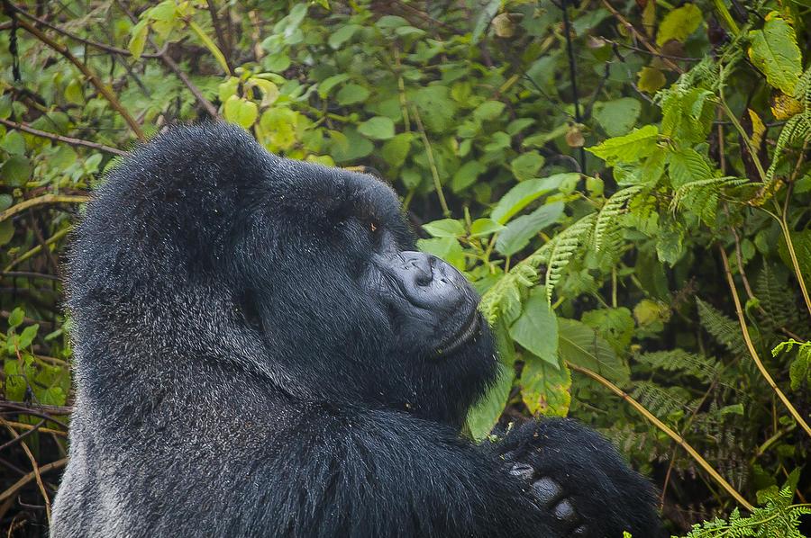 Rwanda Photograph - Silverback Up Close by Paul Weaver