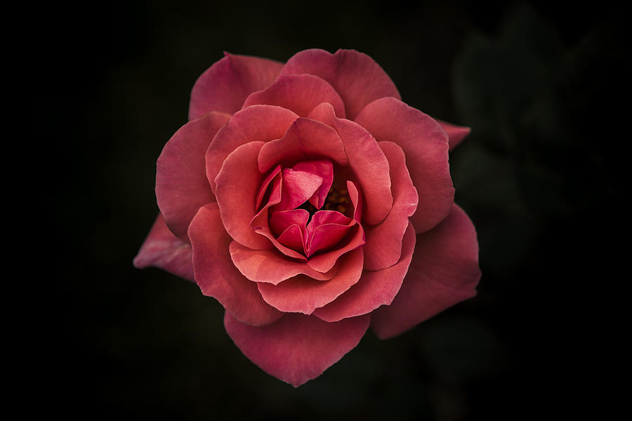 Rose Photograph - Simplicity Is Beauty by Rui Boino
