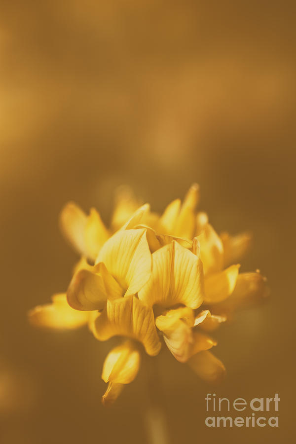 Simplistic yellow clover flower photograph by jorgo photography clover photograph simplistic yellow clover flower by jorgo photography wall art gallery mightylinksfo