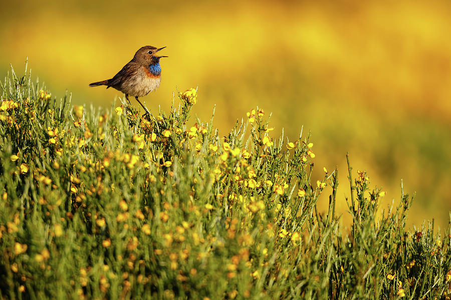 Bluethroat Photograph - Singing Bluethroat by Mario Su?rez